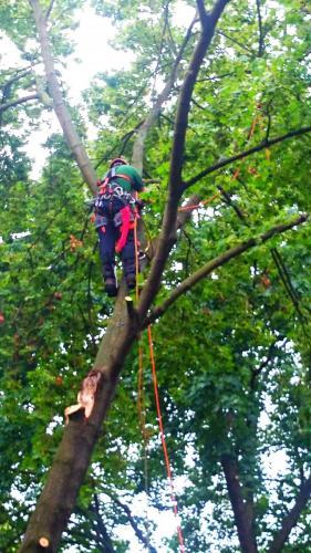 Baumpflege mittels Klettertechnik und Hubsteiger